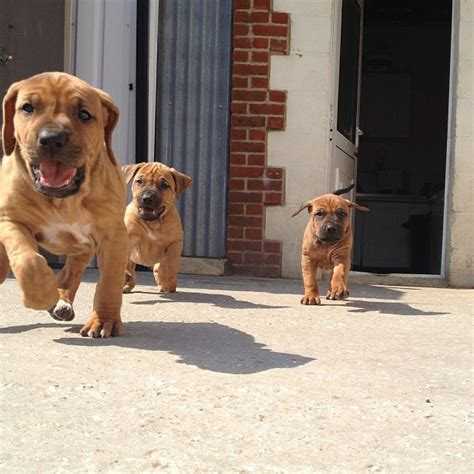 Do Rhodesian Ridgeback Shed by Rhodesian Ridgeback Ready To Play Breeds Picture