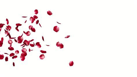 Rose Petals Flying Particles, against white: Royalty free