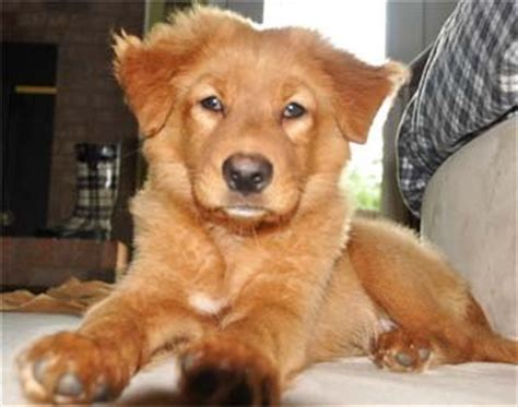 golden retriever and chow mix puppies golden chow pics breeds picture