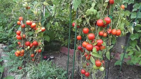 Growing Tomatoes   Not Foliage   Five Tips