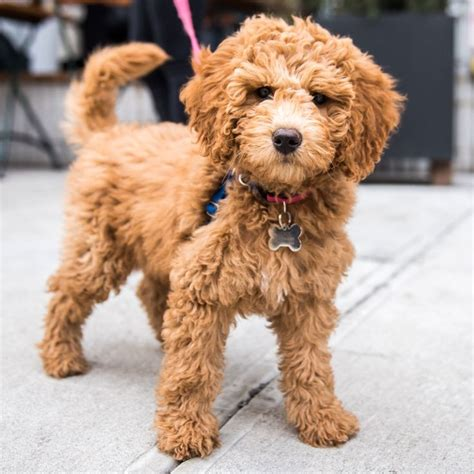 goldendoodle puppy for sale nj 17 best ideas about golden doodle mini on