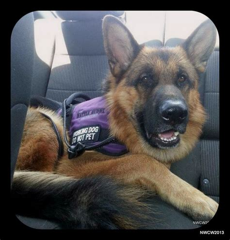 german shepherd service 1000 images about service on vests search and rescue and service dogs