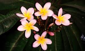 plumeria chafa flower flowers