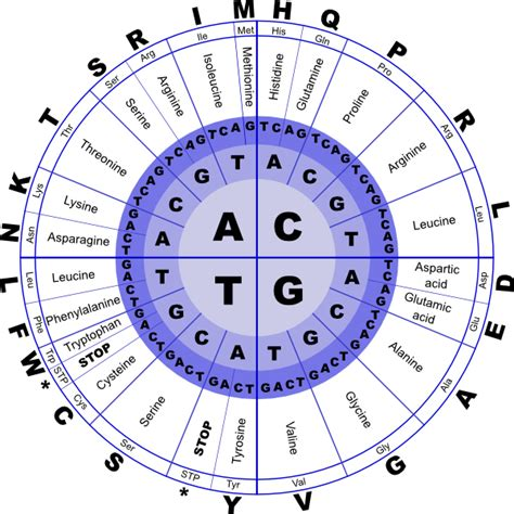 Genetic Code Table by Genetic Code Clip At Clker Vector Clip