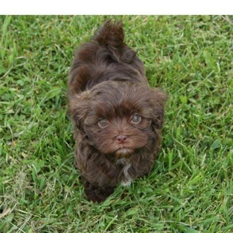 havanese chocolate puppies cats abyssinian cat and the o jays on