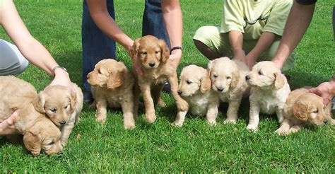 golden retriever breeders in minnesota minnesota golden retriever breeder golden retriever puppies for sale mn dogs