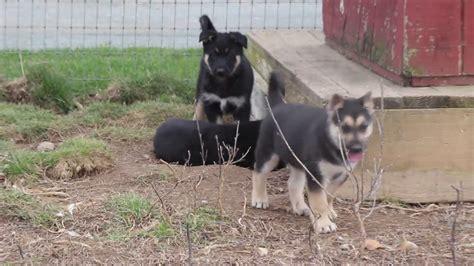 gerberian shepsky puppies for sale gerberian shepsky puppies for sale