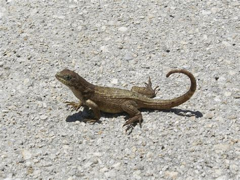 florida lizards identification photos florida lizard names geckos in florida treesranch com