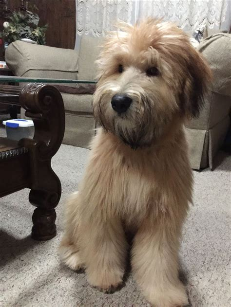 short haired wheaton 537 best soft coated wheaten terrier images on pinterest