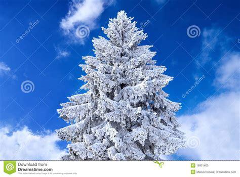 weihnachtsbaum abgedeckt im schnee lizenzfreies stockfoto