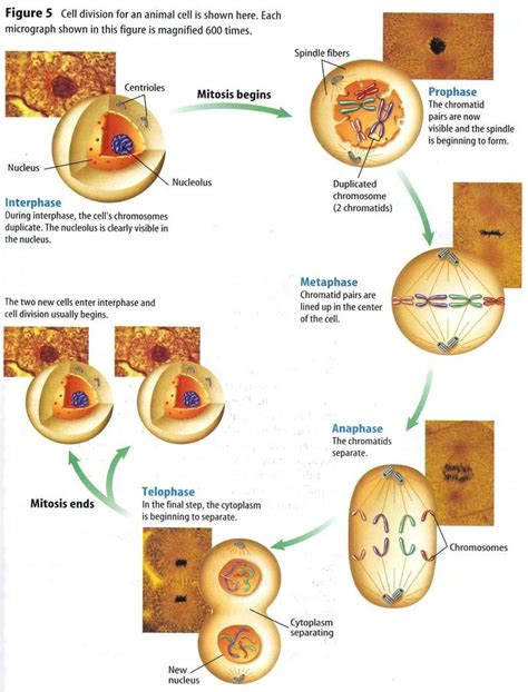mitosis diagram diagram stages of mitosis 28 images mitosis diagram