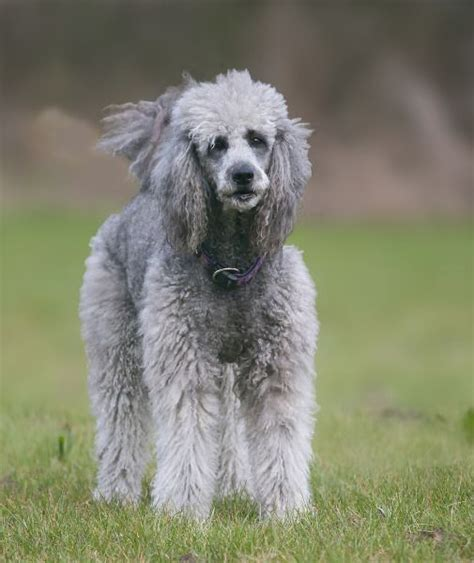 miniature poodle lifespan 17 best images about poodles and more on