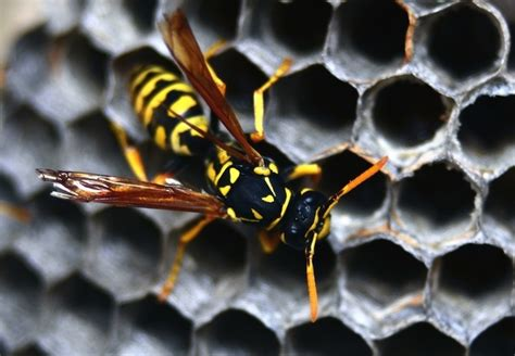 how to get rid of wasps in house siding how to get rid of wasps bob vila