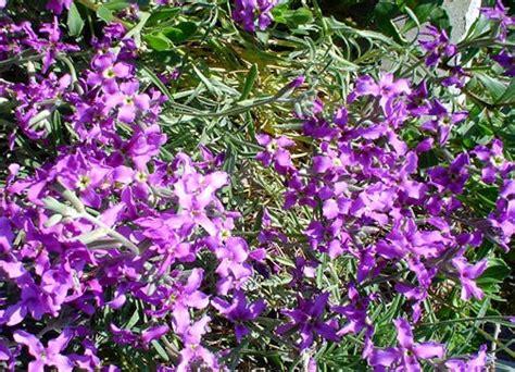 arbusto fiori viola petali viola
