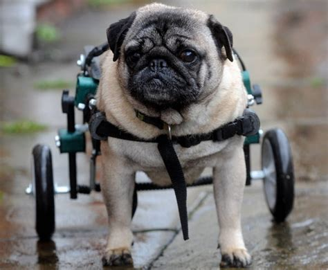 pug in a wheelchair a pug fitted with new wheelchair pugs