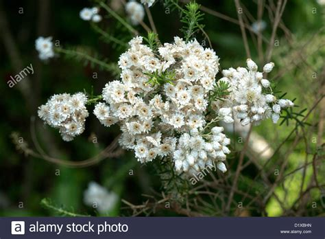 cluster of white flowers of ozothamnus diosmifolius