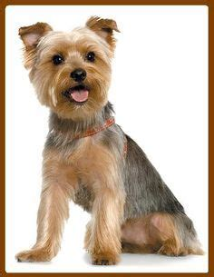 yorkie puppy grooming styles 20 best terrier trim styles images on candies and dreams