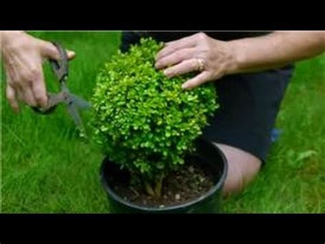 how to trim a topiary maintaining pruning shrubs how to trim a topiary