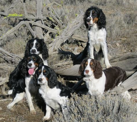springer spaniel puppies oregon oregon springer spaniel badlands photo shoot