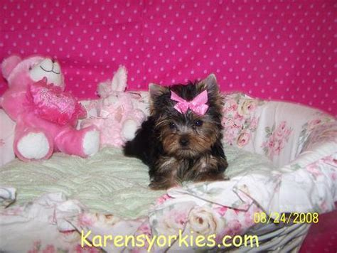 yorkies for sale sc yorkies puppies for sale in sc images