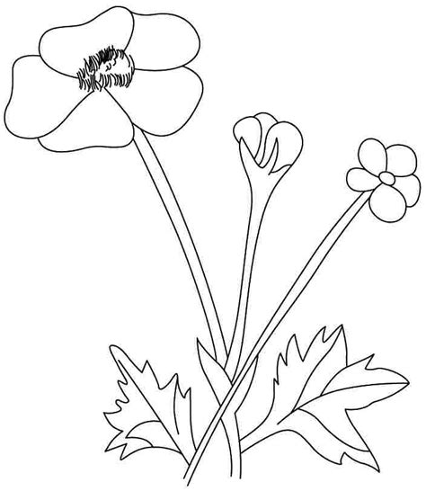 buttercup flowers coloring pages free for kids