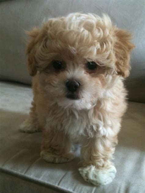 poodle mix with shih tzu 25 best ideas about shih poo on shih tzu