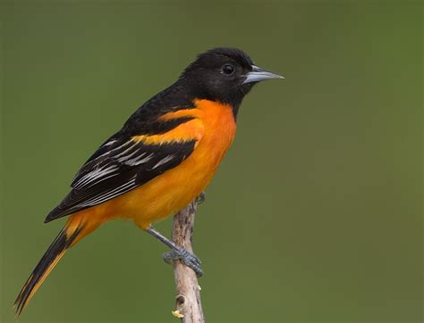 orange breasted birds
