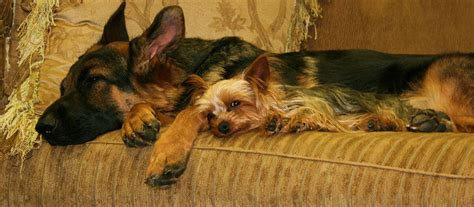 german shepherd yorkie mix german shepherd mixed with a terrier pictures to pin on pinsdaddy