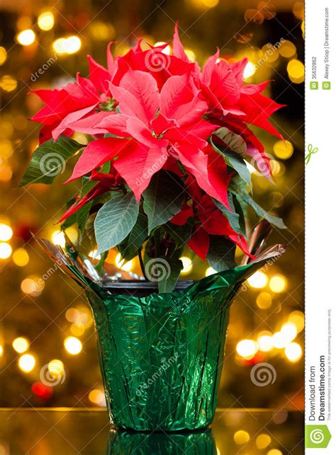 pot plant christmas altar poinsettia stock photo image of ornament winter poinsettia 35632862
