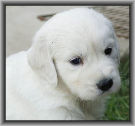 golden retriever puppies ontario golden retriever puppies ontario breeders dogs in our photo