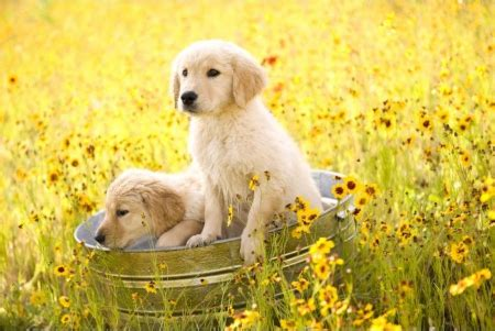 puppies and flowers puppies and flowers dogs animals background wallpapers on desktop nexus
