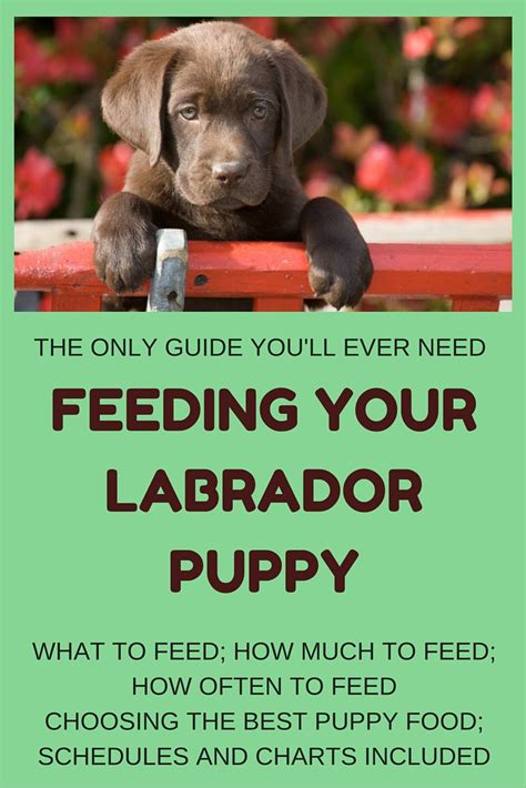 puppy feeding guide feeding your labrador puppy guide and diet chart