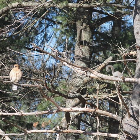 backyard squirrel hunting backyard bird blog the tale of the squirrels and hawks part 2
