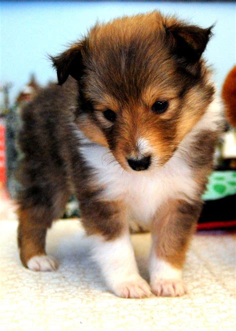 sheltie dogs dogs australian shepherd and car photos