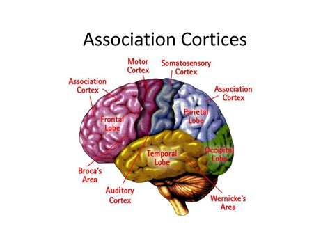 motor association area cerebrum location diagram get free image about wiring
