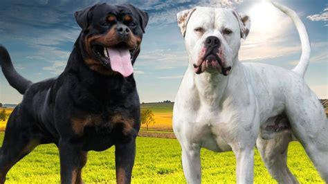 rottweiler vs american bulldog 2017 small american bulldog vs rottweiler characteristics pictures images