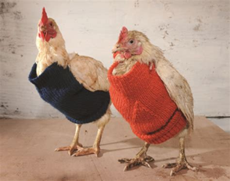 knitting pattern chicken sweater get ready for 12 day of christmas farm style city girl
