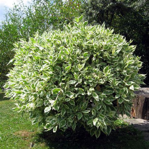 Pohon Ginseng file ficus benjamina leaves jpg wikimedia commons