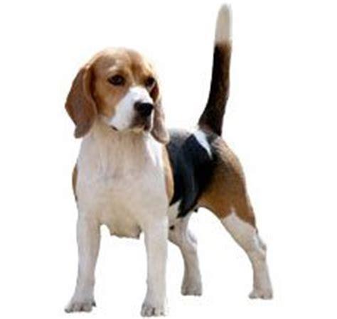 setter vs golden retriever compare beagle vs labrador retriever difference between beagle and labrador retriever