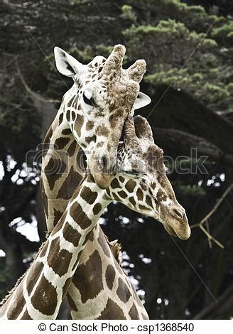 imagenes de amor jirafas stock de fotograf 237 a de jirafas amor dos jirafas