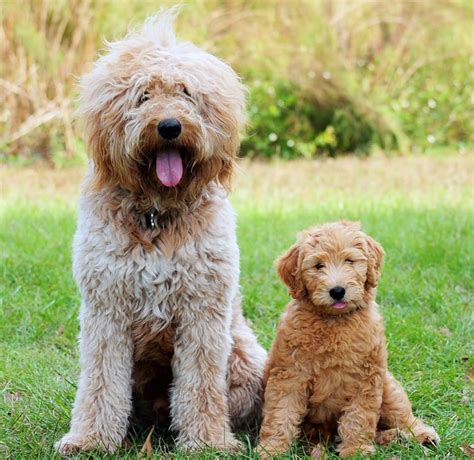 where can i adopt a goldendoodle puppies on goldendoodle puppies available all puppy breeds picture