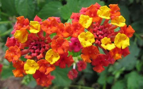 size of lantana file lantana flowers jpg wikimedia commons