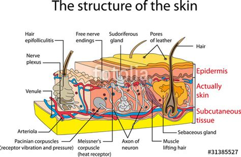 cross section of the skin quot skin cross section quot stock image and royalty free vector
