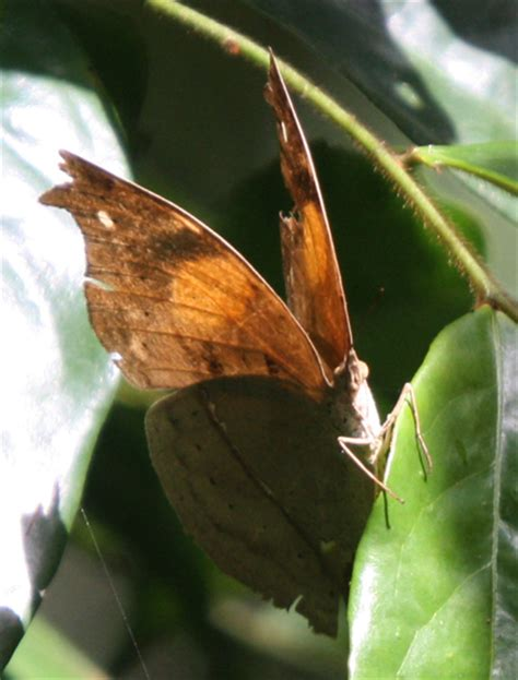 dead leaf butterfly  africa whats  bug