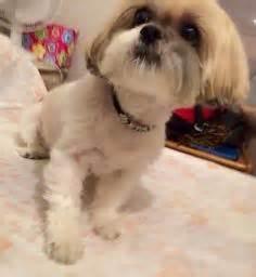 how do you spell shih tzu shi zhu however you spell it on shih tzu shih tzu puppy and mohawks