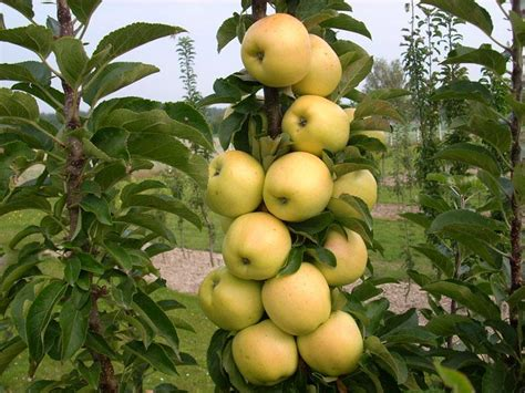 fruit trees ontario golden treat apple 174 apple trees stark bro s