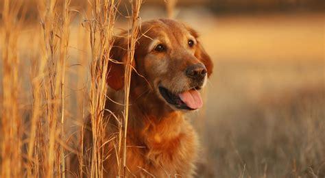 animals golden retriever golden retriever wallpapers pictures images