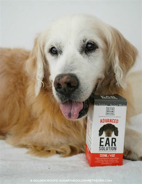 cleaning golden retriever ears ear cleaning solution from reliqpet golden woofs