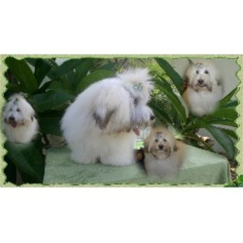 coton de tulear puppies for sale florida sunnybrooks coton de tulear coton de tulear breeder in port florida listing
