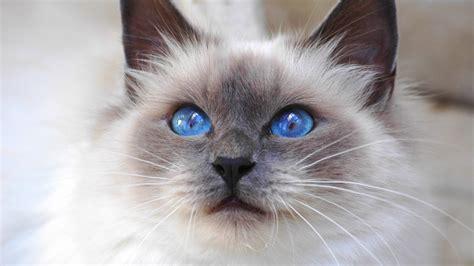 wallpaper 4k cat cat with blue eyes 4k ultra hd wallpapers